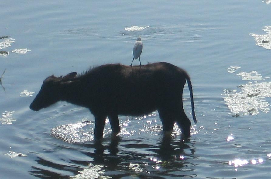 best pals cow and egret bird