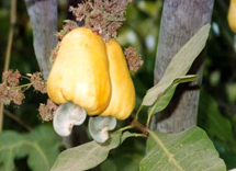 cashew-on-tree