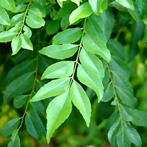 curry-leaves-fresh
