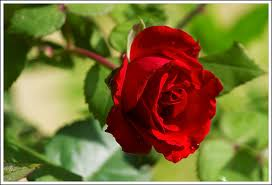 valentines-red-rose.jpg