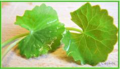brahmi leaf